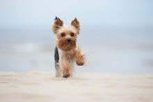 Yorkshire Terrier Dog Running ...
