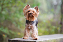 Yorkshire Terrier Dog Posing O...