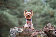 Yorkshire Terrier Dog Outdoors In Autumn