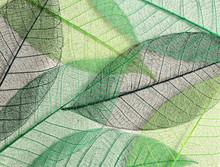 Green Mulberry Leaves Skeletons