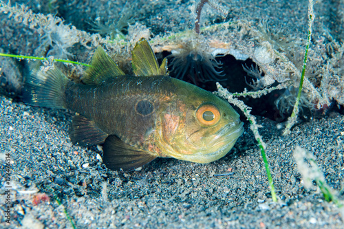 Photographie  Juvenile saint peter fish underwater close up portrait
