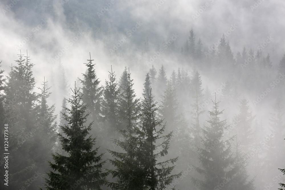 las sosnowy w porannej mgle