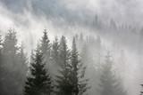 pine forest in morning fog - 122477348