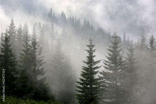 Photo sur Aluminium Foret pine forest in mist