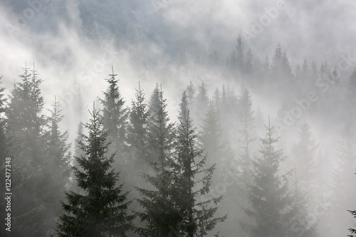 Fototapeten Wald pine forest in morning fog