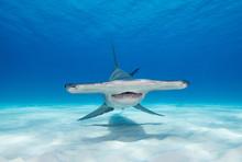 Great Hammerhead Shark Underwa...