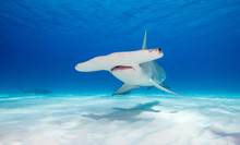 Great Hammerhead Shark Underwa...
