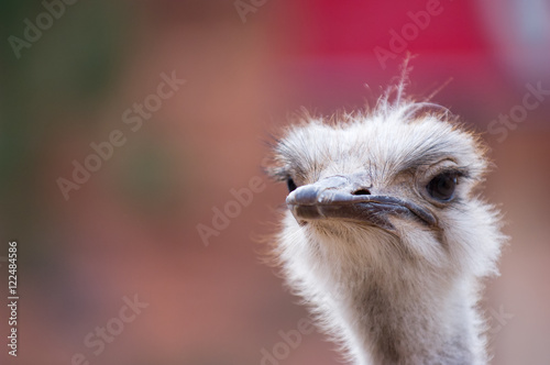 Staande foto Struisvogel Close up of ostrich, looking skeptical
