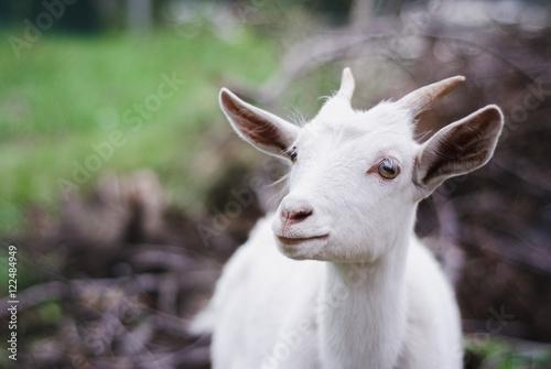 Poster Heuvel white goat