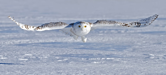 Snowy owl (Bubo scandiacus) hunting over a snow covered field in Canada