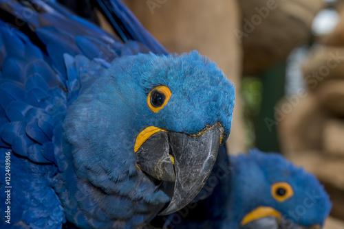 Foto op Aluminium Papegaai Close up hyacinth macaw, Beautiful macaw Hyacinth Macaw feathers (Anodorhynchus hyacinthinus)