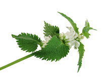 Fresh Green Blossoming Nettle ...
