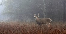 White-tailed Deer Buck In The Foggy Forest During The Autumn Rut In Canada