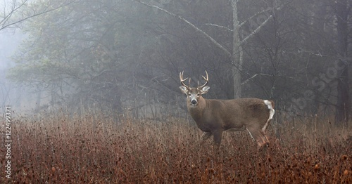 Recess Fitting Deer White-tailed deer buck in the foggy forest during the autumn rut in Canada