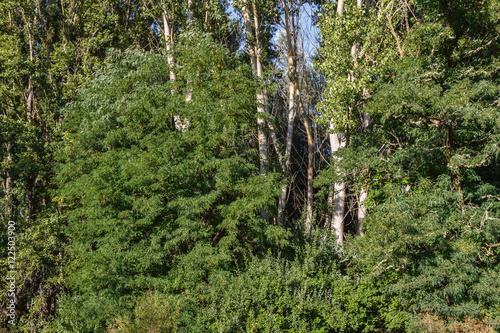 Bosque de Falsas Acacias y Chopos. Robinia pseudoacacia y Populus. © LFRabanedo