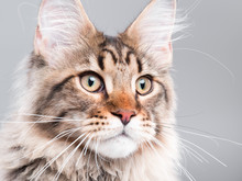 Portrait Of Domestic Black Tabby Maine Coon Kitten - 5 Months Old. Extreme Close-up Studio Shot Beautiful Kitty - Focus On Eyes. Cute Young Curious Cat On Grey Background.