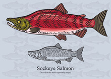Sockeye Salmon (Spawning Stage). Vector Illustration For Artwork In Small Sizes. Suitable For Graphic And Packaging Design, Educational Examples, Web, Etc.