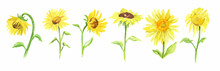Watercolor Sunflower Set On White Background. Summer Flower. Beautiful Garden Illustration.
