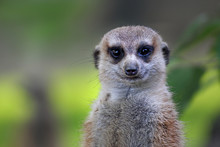 Cute Meerkat On Guard Duty