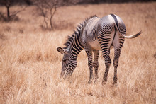 Grevy's Zebra In Samburu Natio...