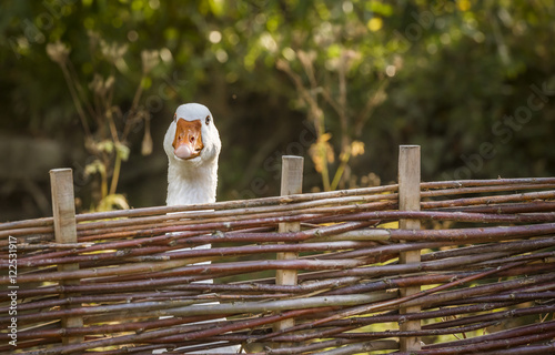 Photo  White goose stretching its neck over a fence - Bird portrait with a white goose