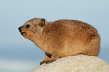 Rock Hyrax (Procavia Capensis) Basking On A Rock, South Africa.