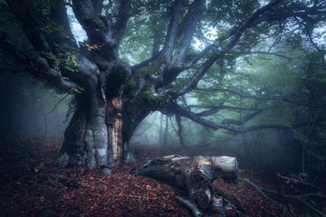 Fototapeta Industrialny Old Tree. Forest in fog. Fall wood. Mystical autumn forest in fog in the morning. Beautiful landscape with trees, log, colorful leaves and fog. Nature background. Foggy forest with magic atmosphere