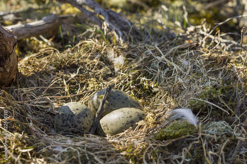three eggs in a nest of seagulls - Buy this stock photo and