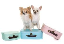Cardboard Box And Chihuahua
