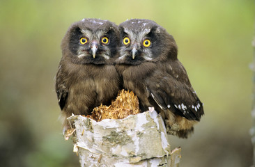 Boreal owl chicks cuddling ...