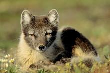 Adult Arctic Fox (Alopex Lagop...