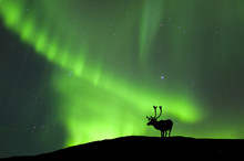 Silhouette Of Barren-ground Caribou Reindeer Standing Against Aurora Borealis