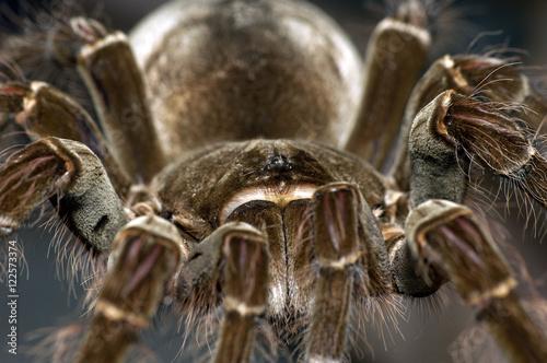 Plakat Tarantula Goliata - jedzenie ptaków