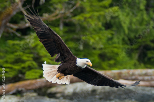 In de dag Eagle American Bald Eagles