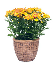 Fall Mums Flowers In Clay Pot ...