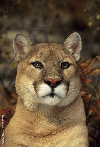 Staande foto Puma Close up of Mountain Lion (puma concolor)