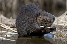 Beaver (Castor Canadensis)  Feeding On Aspen Tree Branch, Ontario, Canada