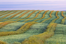 Canola Harvest Near Trochu, Alberta