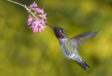 Anna's Hummingbird (Calypte Anna), Canada.