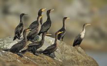 Double-crested Cormorants (Phalacrocorax Auritus) On Rocks Near Entrance To Victoria Harbour, Victoria BC