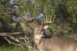 White-tailed Deer Buck in Southern Texas