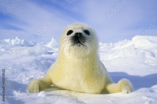 Harp seal pup on snow, Gulf of Saint Lawrence River, Canada