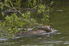 Beaver (Castor Canadensis), Swims With Branches In Its Mouth, Saskatchewan, Canada