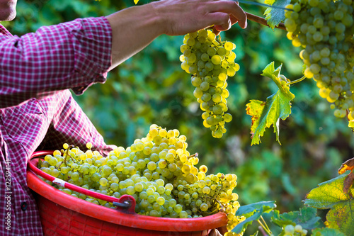 Cuadros en Lienzo  Worker Cutting White Grapes from Vines