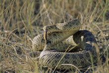 Prairie Rattlesnake (Crotalus Viridis) Adult (Western & Plains Rattlesnake) Is Equipped With Powerful Venom To Kill Prey Quickly. If Threatened, Will Vibrate Their Tails, Producing A Unique Rasping Sound To Warn Intruders. Grasslands National Park, Southwestern Sasketchewan, Canada.