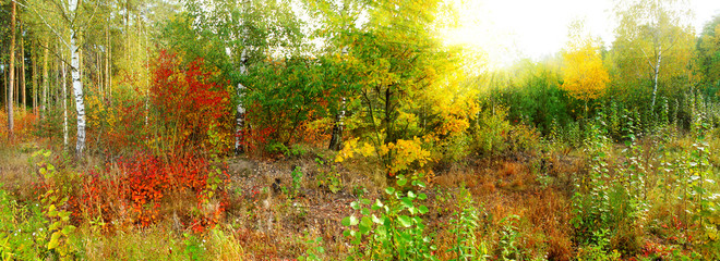 FototapetaPanoramic image of the deciduous forest in autumn