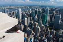 Pigeon On The Empire State Bui...
