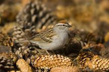 Chipping Sparrow (Spizella Passerina) Sitting On Pine Cones, Saskatchewan, Canada