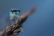 canvas print picture - Makro einer Libelle auf einer Grashalm