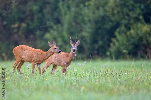 Photo sur Aluminium Roe Roe-deer with buck deer in a clearing